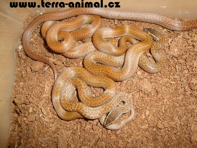 Lamprophis capensis